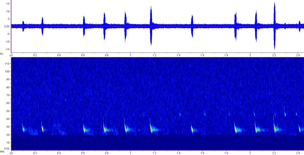 bigsonogram of brown bat Eptesicus fuscus echolocating calls