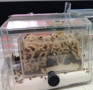 Ant colonies & fungus gardens in R Adams lab at OSU-MBD