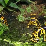 yellow banded poison dart frogs