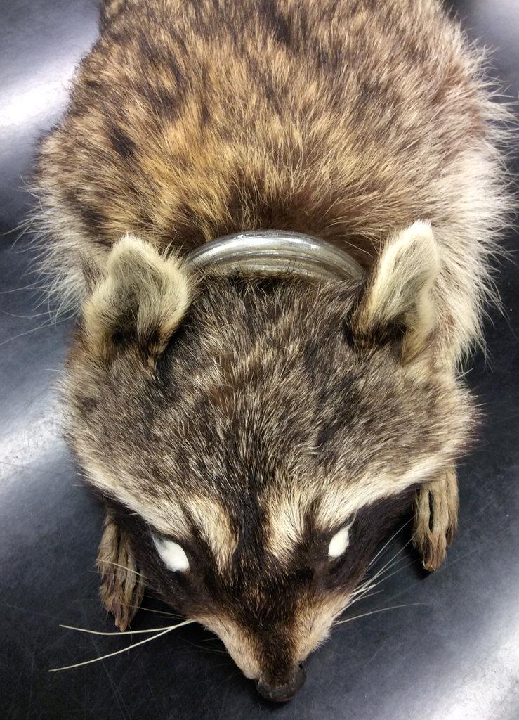 racoon specimen with head still stuck in glass jar