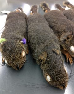 tree squirrel specimens prepared by Grant Terrell