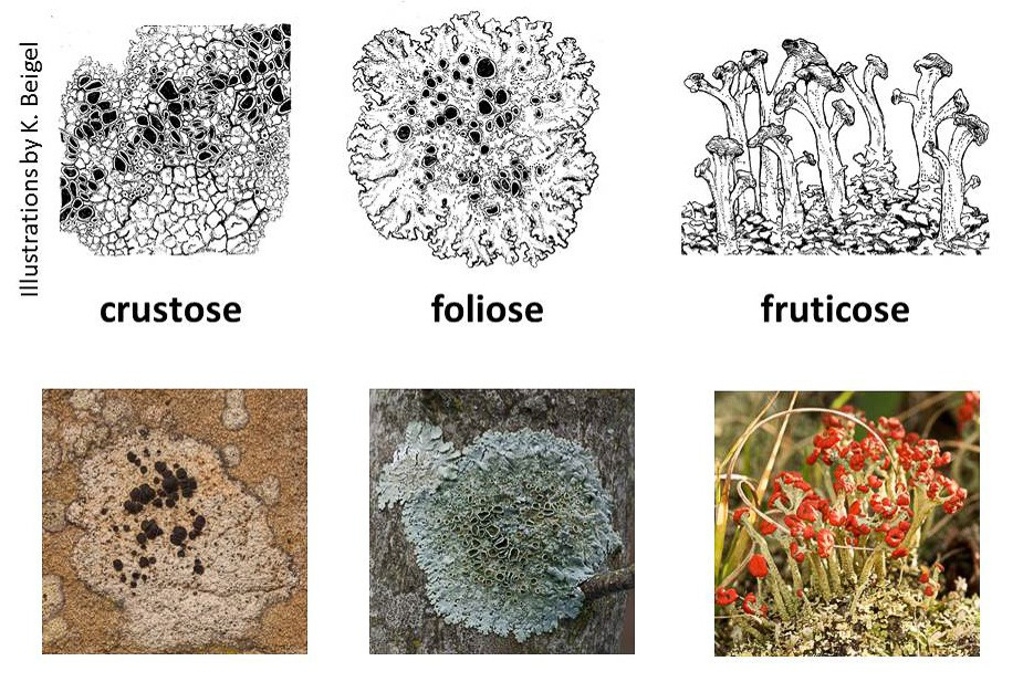 Illustration of three growth-form categories of lichens