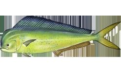 Common Dolphin Fish, or Mahi-mahi