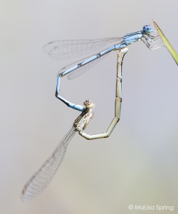 Double-striped bluet (pond damselfly)