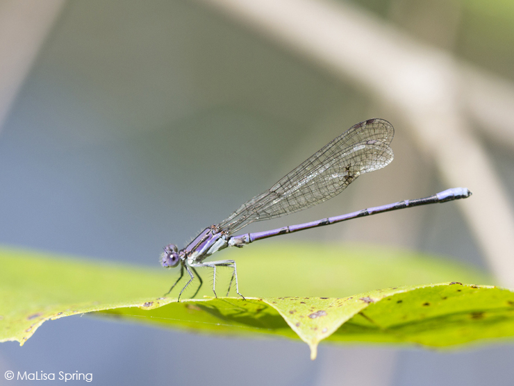 Violet dancer (pond damselfly)