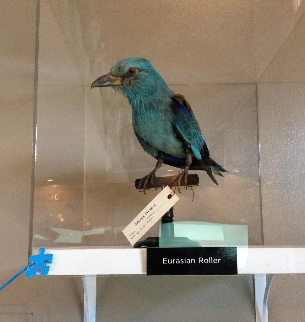 Eurasian Roller - mounted bird specimen