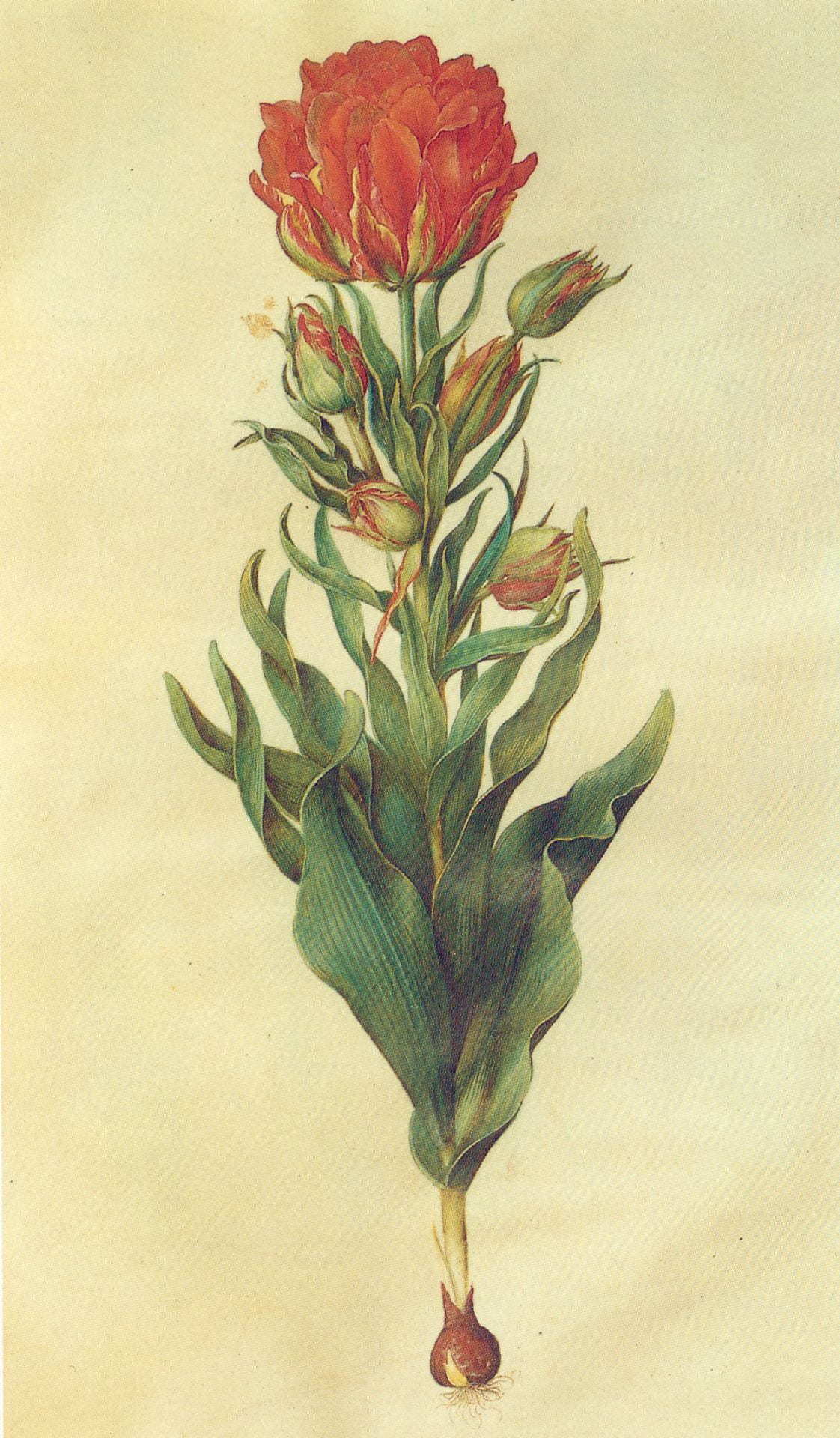 Image of Multiflower tulip, gouache on vellum, in: Gottorfer Codex, Hans-Simon Holtzbecker [Public domain] CC.0