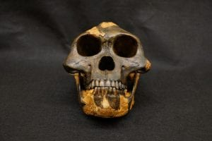 A picture of an Australopithecus afarensis skull