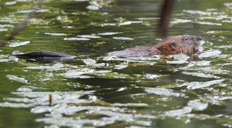 Beaver at the Wetlands © Jason Stover