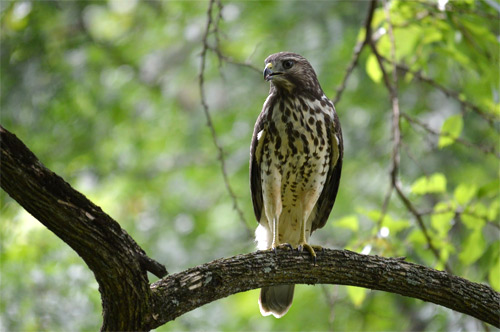 Hawk at the Wetlands © Jason Stover