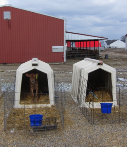 Two calfs in hutches in front of the Heifer Barn at Waterman Dairy. Photo by the author Winter, 2013