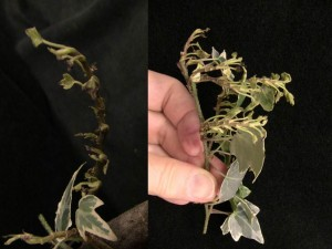 English ivy showing shortened internodes and stunted, curled foliage caused by cyclamen mite injury