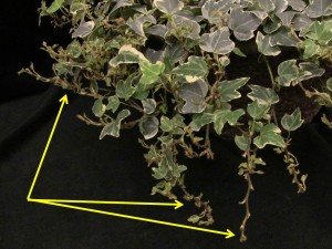 Stunted and distorted new growth on English ivy caused by cyclamen mite