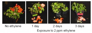 Figure 1.  Ethylene dose response in impatiens.  The severity of ethylene damage is determined by the sensitivity of the specific crop but also the concentration of ethylene and the time that the plant is exposed.  Impatiens are considered to be highly sensitive to ethylene.  After one day of exposure to 2 ppm ethylene most open flowers are shed.  After two days all of the open flowers have been lost and buds also begin to  abscise.  After 3 days the plants do not have any flowers or buds.