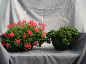 Figure 4.  Geranium hanging basket (top) produced in a greenhouse that contained ethylene contamination at 800 ppb as determined by a gas chromatograph.   This crop suffered extreme ethylene damage.  All flowers prematurely senesced and leaves yellowed and eventually became brown and necrotic.  Plants resumed vegetative growth after removal from the ethylene (far right plant in the bottom photo), but when compared to plants that were produced in a non contaminated environment (left plant in the bottom photo) they are very significantly delayed.  One month after removal from the ethylene contaminated greenhouse these geraniums still did not have any flower buds.