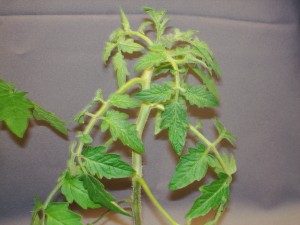 Figure 3.  When exposed to ethylene tomato plants exhibit epinasty or the downward curvature of the leaves.