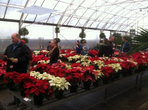 Evaluation of poinsettia cultivars by greenhouse growers.