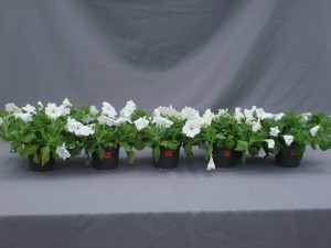 Figure 2.  Symptoms of ethylene damage in petunia.  Plants were treated with different concentrations of ethylene (0, 0.01, 0.1, 1.0, and 10 ppm from left to right) for 24 hours to observe the symptoms of flower senescence.