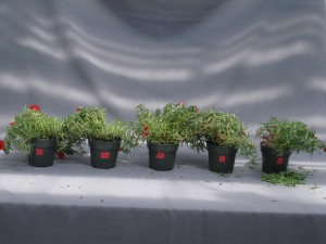 Figure 3.  Symptoms of ethylene damage in portulaca.  Plants were treated with different concentrations of ethylene (0, 0.01, 0.1, 1.0, and 10 ppm from left to right) for 24 hours to observe the symptoms of flower senescence and leaf abscission.
