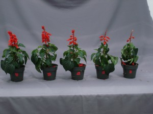 Figure 1.  Symptoms of ethylene damage in salvia.  Plants were treated with different concentrations of ethylene (0, 0.01, 0.1, 1.0, and 10 ppm from left to right) for 24 hours to observe the symptoms of flower abscission.
