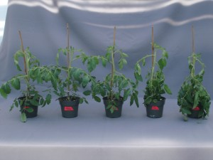 Figure 4.  Symptoms of ethylene damage in tomato.  Plants were treated with different concentrations of ethylene (0, 0.01, 0.1, 1.0, and 10 ppm from left to right) for 24 hours to observe the symptoms of leaf epinasty.