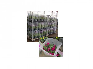 Figure 1. Perforated sleeves allow ethylene to escape from packaging.  This is especially important for ethylene sensitive crops like petunias.