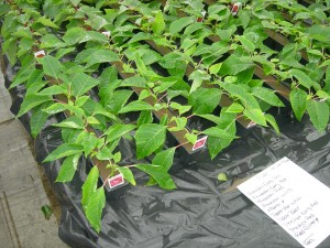 Poinsettia cuttings being rooted.  This is a critical stage because it will ensure a good start of the poinsettia crop.