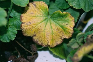 Figure 2. Typical iron-manganese toxicity symptoms on Geranium. Photo by Claudio Pasian.