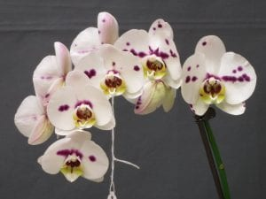 Watering Phalaenopsis Orchids With Ice Cubes Greenhouse Industry