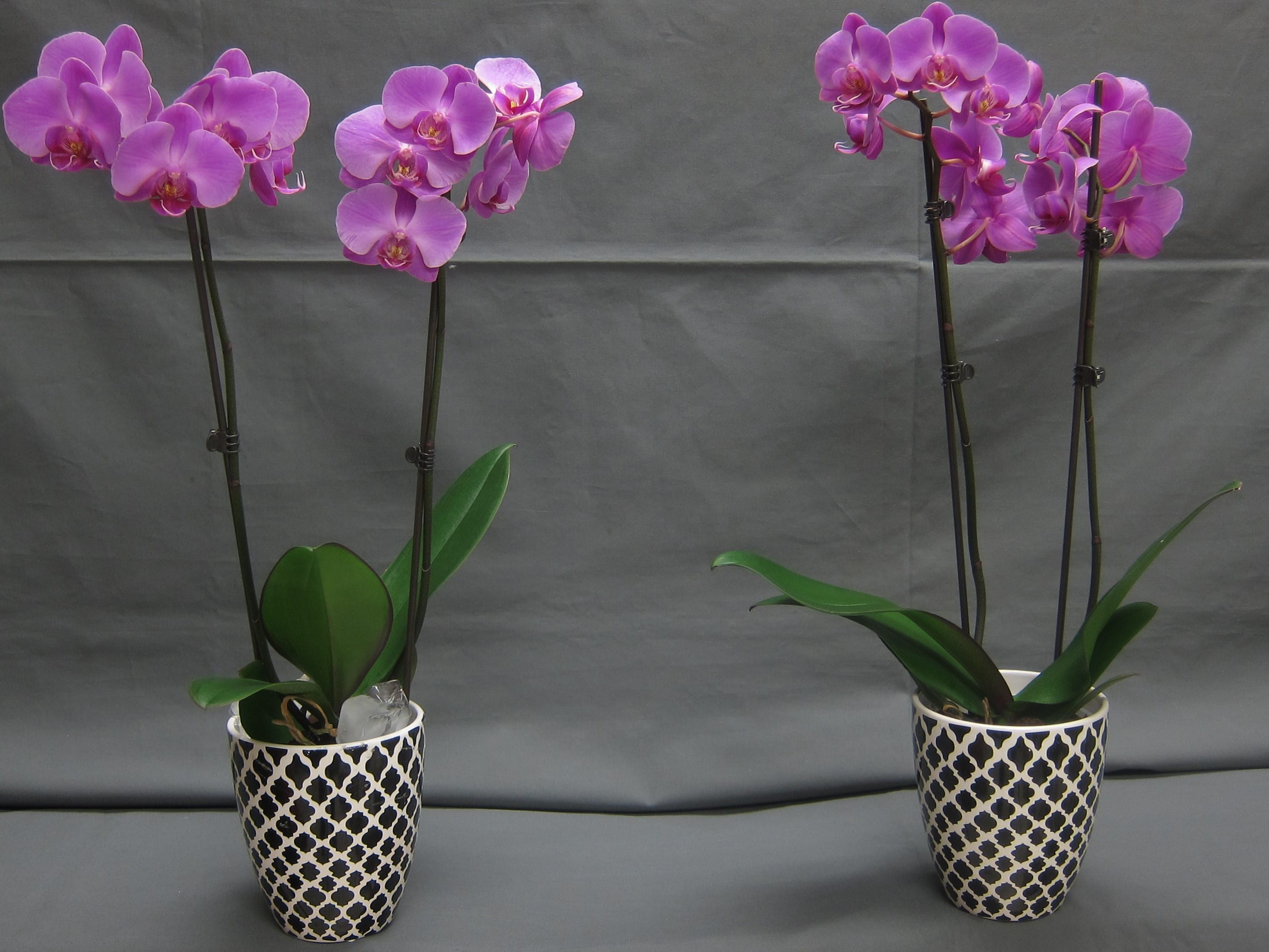 Watering Phalaenopsis orchids with ice cubes | Greenhouse ... on ant house plant, jade house plant, marijuana house plant, dolphin house plant, sword house plant, steel house plant, leaf house plant, avocado house plant, lazarus house plant, lemon house plant, banana house plant,