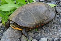 200px-A2_Midland_painted_turtle