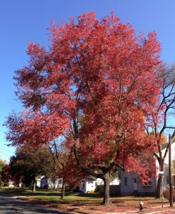 2014-10-30_11_09_40_Red_Maple_during_autumn_on_Lower_Ferry_Road_in_Ewing,_New_Jersey