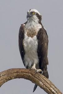 220px-2010-kabini-osprey