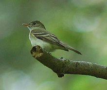 220px-Acadian_Flycatcher