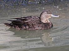 220px-American_Black_Duck_female_RWD6