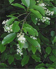 220px-Amerikaanse_vogelkers_Prunus_serotina_closeup