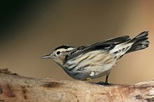 220px-Black-and-white_Warbler