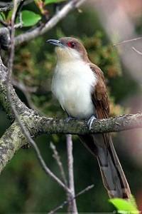 220px-Black-billed-cuckoo2