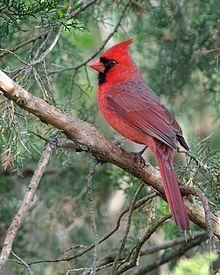 220px-Cardinalis_cardinalis_-Columbus,_Ohio,_USA-male-8_(1)