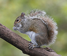 220px-Eastern_Grey_Squirrel