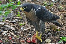 220px-Falco_peregrinus_-Nova_Scotia,_Canada_-eating-8