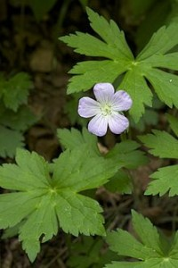 220px-Geranium_maculatum_Leatherwood_Lake