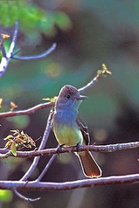 220px-Great_Crested_Flycatcher_in_back_of_Bowman's_Beach,_Sanibel