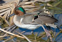 220px-Green-Winged_Teal