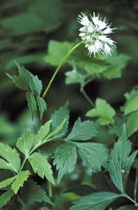 220px-Hydrophyllum_virginianum