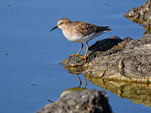 220px-Least_Sandpiper_Don_Edwards_WR_1