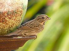 220px-Lincoln's_Sparrow_at_bird_feeder