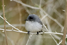 220px-Male_Blue-gray_Gnatcatcher