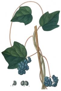 220px-Menispermum_canadense,_Saint-Hilaire-1