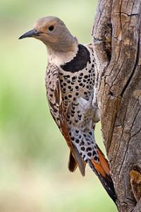 220px-Northern_Flicker